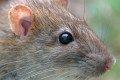 Pest control - brown rat.