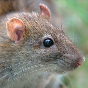 "The common brown or ""Norway"" rat."