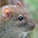 Pest control - brown rat.