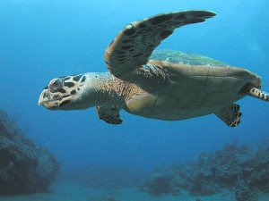 Hawksbill nests are often plundered by brown rats.