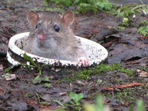 Brown rat habitat preferences