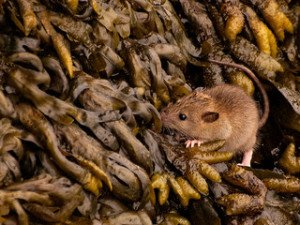 Brown rat foraging