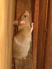Rats can get in the home between walls, under foundations and in roof spaces.