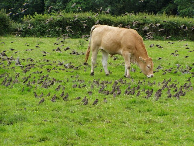 A flock of Common Starlings foraging in a cattle pasture in Northern Ireland.