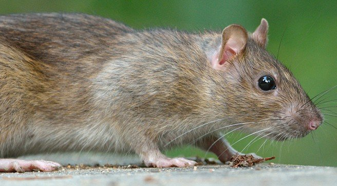 unique characteristics of brown rats that Now that's a rat of a different color: fancy rat varieties updated on march 16, 2018 eternal evolution  some fancy rats will retain the wild brown agouti color.