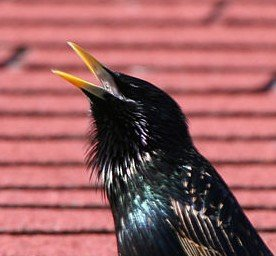 Male starling in the act of vocalization