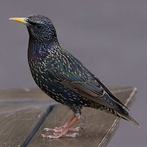 Pest Control: European/Common Starling