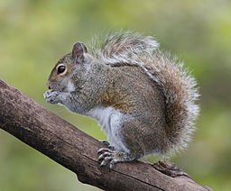 256px-Eastern_Grey_Squirrel
