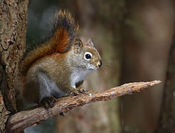 Tamiasciurus_hudsonicus, pine squirrel