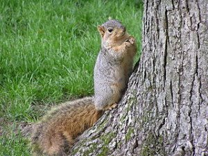 320px-Fox_squirrel_with_sunflowerseed_by_tree_South_Bend_Indiana_USA