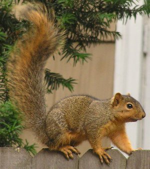 Sciurus_niger, fox squirrel